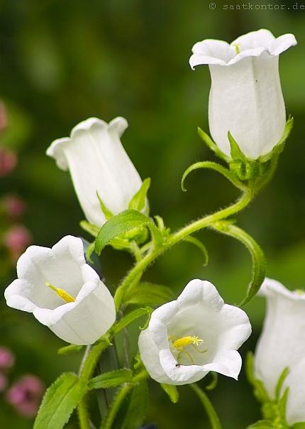 Marienglockenblume Mischnung Blumensamen Campnula medium