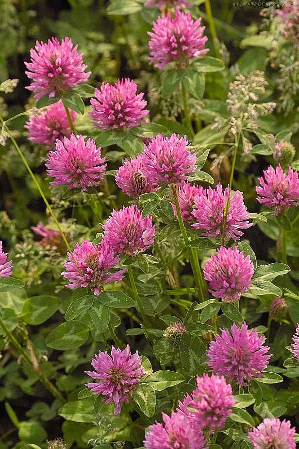 trifolium pratense