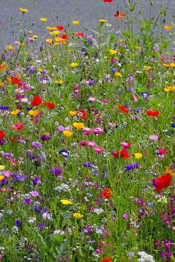 Trockener Boden Dekorativ Blumenwiese Samen-Mischung 100/% Blumen Mehrjährig 40qm