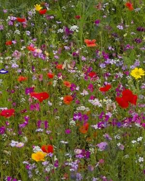 saatgut samen 2 kg heimische wildblumen samen mischung mehrj hrig ber 80 arten. Black Bedroom Furniture Sets. Home Design Ideas